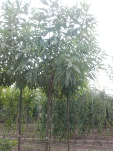 chitalpa-tashkatensis